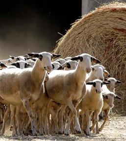 Agneaux des Causses du Quercy
